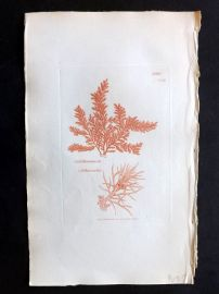Sowerby 1846 Hand Col Seaweed Print. Calithamnion Arbuscula 2459